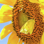 Yellow Butterfly And Sunflower Poster