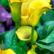 Yellow Calla Lilies Poster