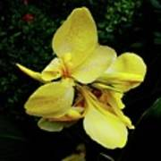 Yellow Canna  Poster