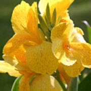 Yellow Canna Indica Poster