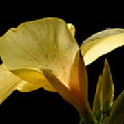 Yellow Canna Poster by Jeannie Burleson