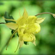 Yellow Columbine  Poster