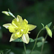 Yellow Columbine Squared Poster