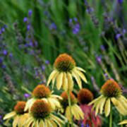 Yellow Coneflowers And Lavender 1633 H_2 Poster