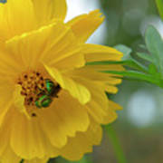 Yellow Cosmos Flower Poster