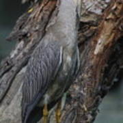 Yellow Crested Night Heron On Log Poster
