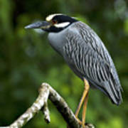 Yellow-crowned Night Heron Poster by JP Lawrence