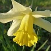 Yellow Daffodil 2 Poster