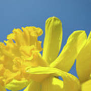 Yellow Daffodils Flowers Art Blue Sky Spring Baslee Troutman Poster