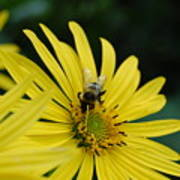 Yellow Daisy And Bee  Poster