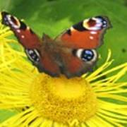 Yellow Daisy With Butterfly Poster