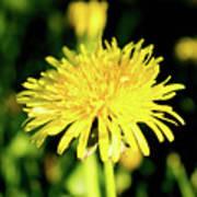 Yellow Dandelion Flower Poster