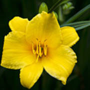 Yellow Daylily Flower Poster