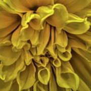 Yellow Dinner Plate Dahlia Poster