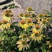 Yellow Echinacea, Straw Flowers Gray Stone Background 2 9132017  Poster