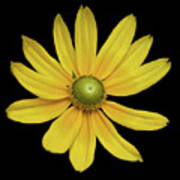 Yellow Eyed Daisy In Black Poster