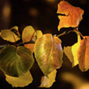 Yellow Fall Leaves Poster