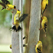 Yellow Finch Feeding Frenzy Poster