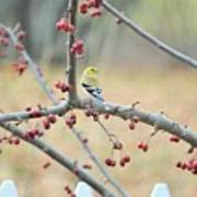Yellow Finch In Crab Apple Tree Poster