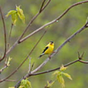 Yellow Finch In Spring Poster
