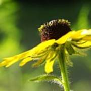 Yellow Flower In Sunlight Poster