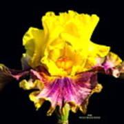 Yellow Flower On Black Poster