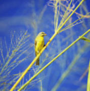 Yellow Fronted Canary Poster