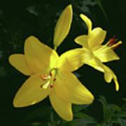 Yellow Garden Lilies Poster