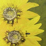 Yellow Gazanias And Bee  Poster