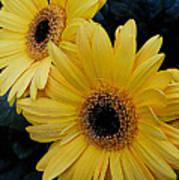 Yellow Gerbera Daisies Poster