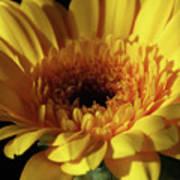 Yellow Gerbera Macro Poster