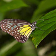 Yellow Glassy Tiger Butterfly Poster