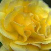 Yellow Golden Single Flower Poster