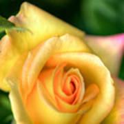 Yellow Golden Single Rose Poster