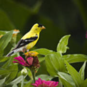 Yellow Goldfinch Poster