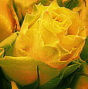 Yellow Green Rose Poster