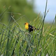 Yellow-headed Blackbird Poster