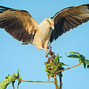 Yellow-headed Caracara Milvago Poster