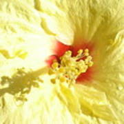 Yellow Hibiscus Close Up Poster
