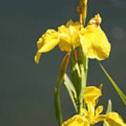 Yellow Iris 2 - Floral Poster