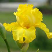 Yellow Iris Flowers Art Prints Cards Irises Summer Garden Landscape Poster