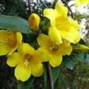 Yellow Jasmine Poster