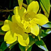 Yellow Jessamine At Pilgrim Place In Claremont-california Poster