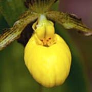 Yellow Lady's Slipper 3 Poster
