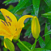 Yellow Lilly Poster