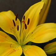 Yellow Lily 1 Poster