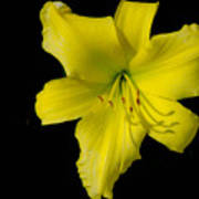Yellow Lily Flower Black Background Poster