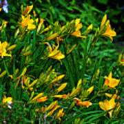 Yellow Lily Flowers Poster