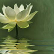 Yellow Lily With Reflections Poster