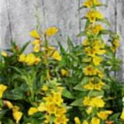 Yellow Loosestrife Poster